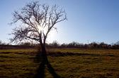 Bare tree sunrise — Stock Photo