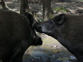 Two wild boars — Stock Photo