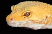 Eublepharis macularius — Foto de Stock