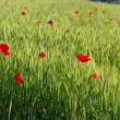 Stock Photo: Wheat field with poppies