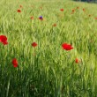 Wheat field with poppies — Stock Photo