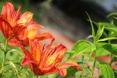Martagon lily — Stock Photo