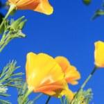 California poppy flower — Stock Photo #7194033