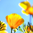 Stock Photo: Californipoppy flower