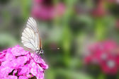 Butterfly sitting on flower carnation — Stock Photo