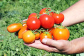 Several tomato in a hand of farmer — Stock Photo