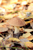 Boletus among the fallen yellow leaves — Stock Photo