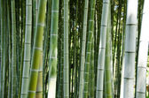 Green bamboo forest background — Stock Photo