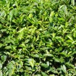 Japanese green tea plant — Stock Photo