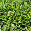 Japanese green tea plant - Stock Photo