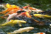 Japanese koi swimming in water — Foto de Stock