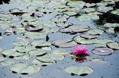 Nymphaea flower — Stock Photo
