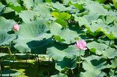 Flores de lótus rosa linda — Fotografia Stock