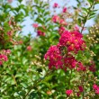 Stock Photo: Red flowers of Lagerstroemiindica, Crape myrtle or Crepe myrtl