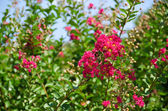 Red flowers of Lagerstroemia indica, Crape myrtle or Crepe myrtl — Stock Photo