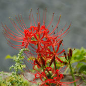 Red spider lily, Lycoris radiata — Stock Photo