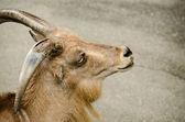 Head of a wild goat — Stock Photo