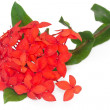 Red Ixora coccinea, isolated — Stock Photo