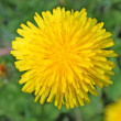 Stock Photo: Dandelion flowers