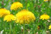Flores de dente de leão — Foto Stock