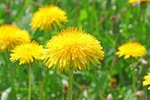 Pampelišky květiny — Stock fotografie
