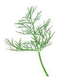 Fresh dill twigs — Stock Photo