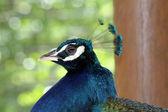 Peacock head — Stock Photo