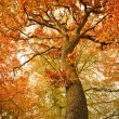 Stock Photo: Autumn oak tree in the forest