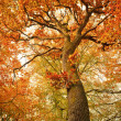 Autumn oak tree in the forest — Stock Photo