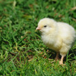 New born chick — Stock Photo