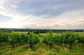 Vineyards and fields in Bertinoro — Stock Photo