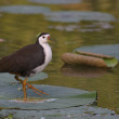 White-breasted Waterhen — Stock Photo