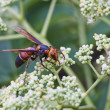 Colorful wasp — Stock Photo #6774719
