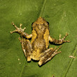 Meintein Tree Frog - Stock Photo