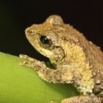 Meintein Tree Frog — Stock Photo