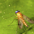Orange horsefly - Stock Photo