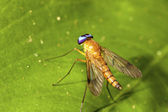 Orange horsefly — Stock Photo