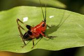 Long-horned grasshopper — Stock Photo