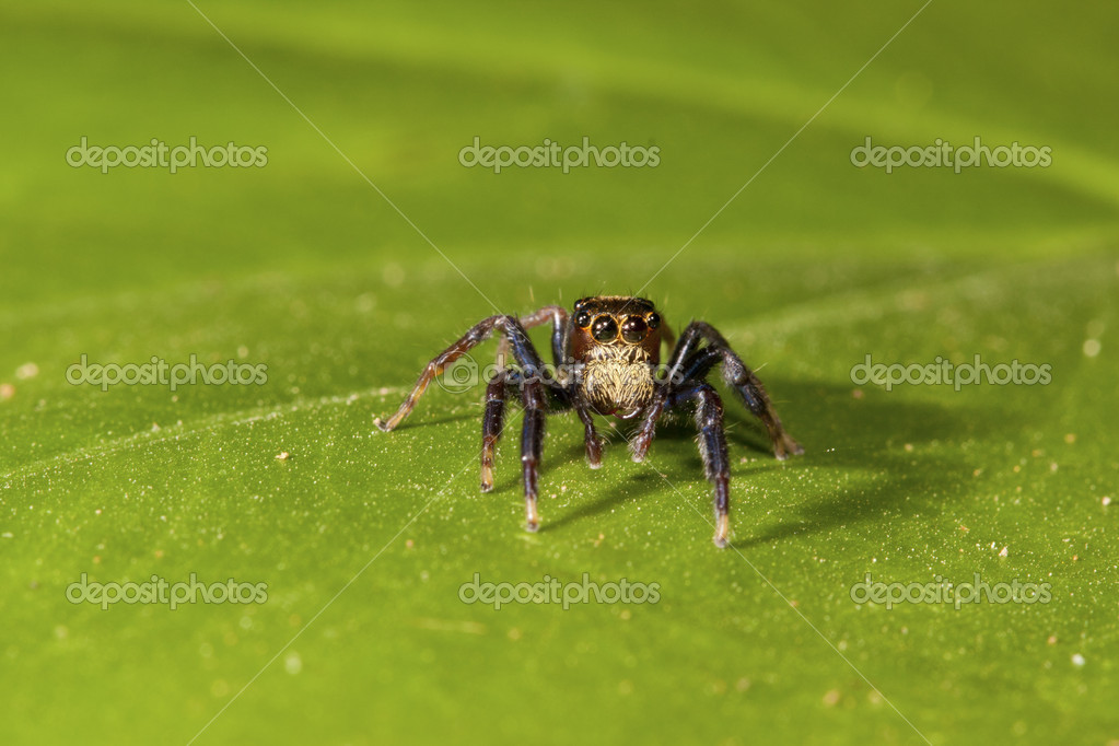 Jumping spider stay on geen leaf background  Stock Photo #6946148