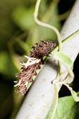 Larva of Swallowtail butterfly — Stock Photo