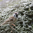 Royalty-Free Stock Photo: Eurasian Tree Sparrow