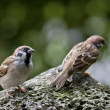 Two Eurasian Tree Sparrow — Stock Photo #7676917