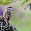 Eurasian Tree Sparrow — Stock Photo