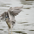Black-crowned Night Heron - Stock Photo