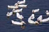 Group of Ducks — Stock Photo