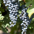 Merlot grapes on grapevine — Stock Photo