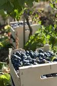 Обрешеткой виноград в виноградники — Стоковое фото