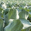 Royalty-Free Stock Photo: Cabbage Field