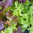 Stock Photo: Lettuce leaves