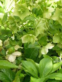 Green flowers with leaves — Stock Photo